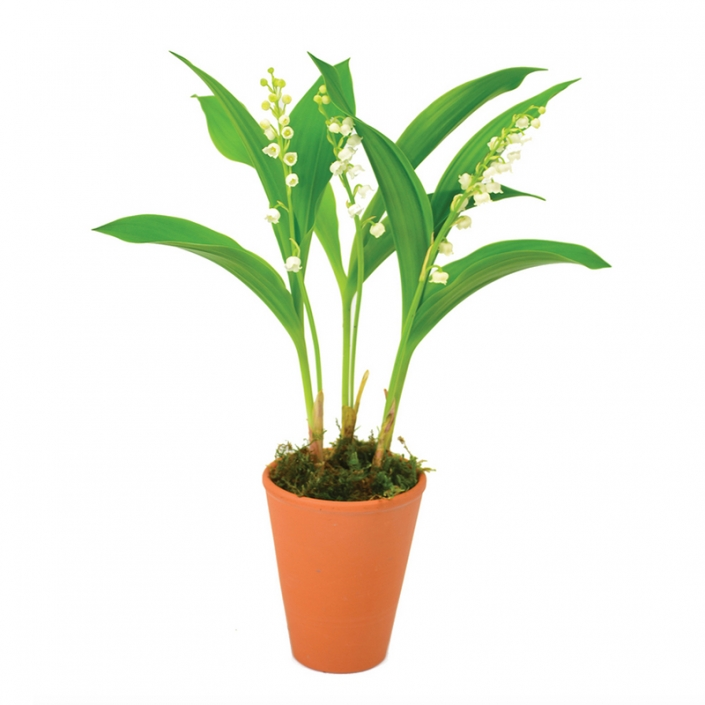 Pot de muguet à replanter