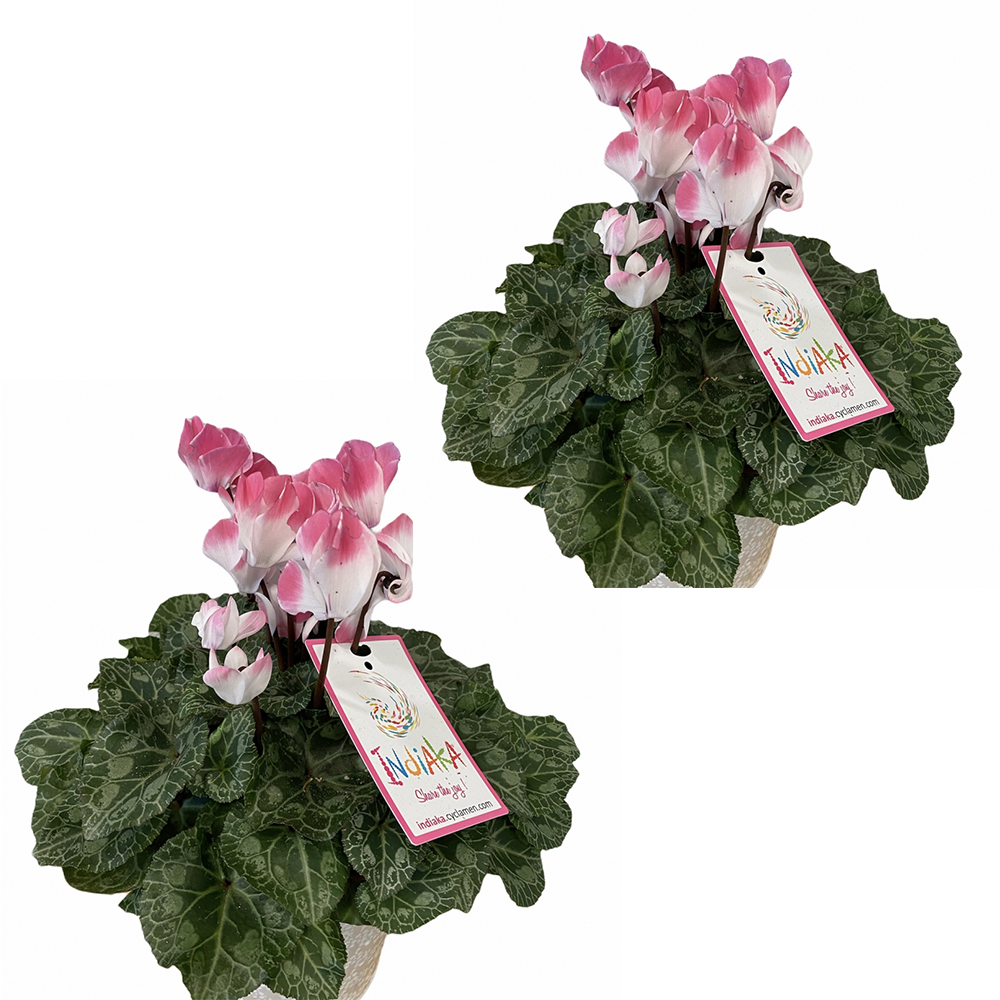 Offre duo plantes : 2 cyclamens
