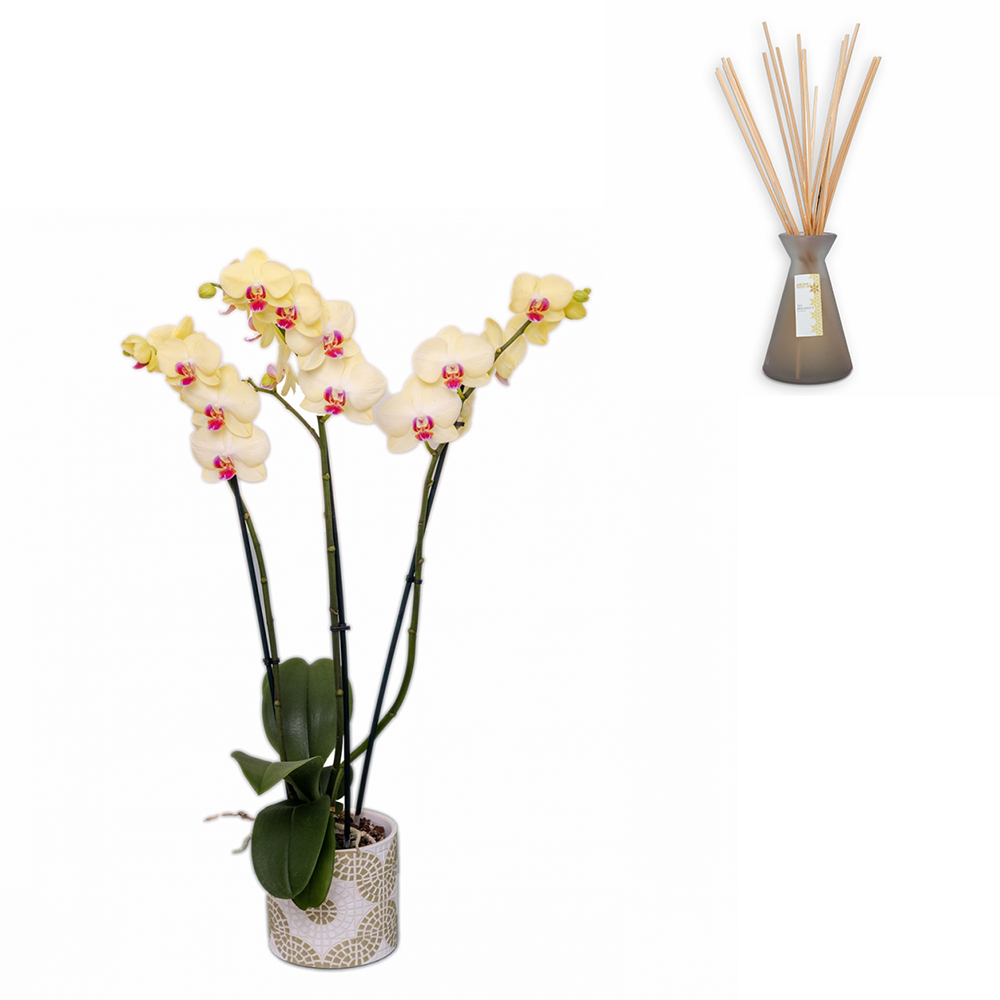Offre duo : Orchidée phalenopsis et bouquet de senteur