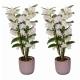 Offre duo plantes : 2 orchidées dendrobium