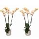 Offre duo plantes : 2 Orchidées phalenopsis